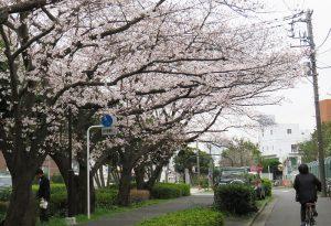 今年も大倉山の桜を静かに愛でることになりそう(太尾堤緑道、2019年3月)