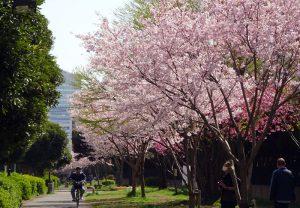 太尾公園付近の「ジンダイアケボノ」もよく咲いている