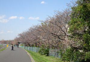 水再生センター裏手の鶴見川沿いの桜並木は、まだ少し