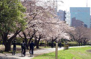 横浜アリーナ裏手付近の鶴見川に近い鳥山川沿いはまもなく満開か